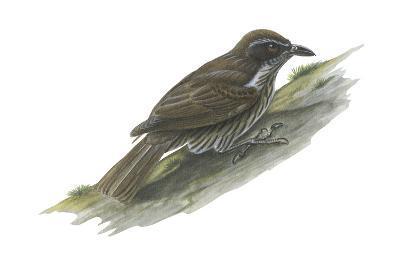 Philippine Creeper (Rhabdornis Inornatus), Birds-Encyclopaedia Britannica-Art Print