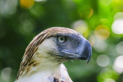 Philippine Eagle, Davao, Mindanao, Philippines-Michael Runkel-Photographic Print