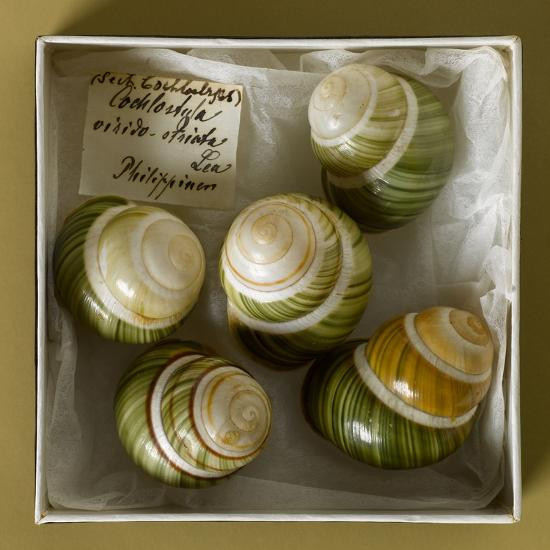 Philippine Land Snails from the Linter Collection--Photographic Print