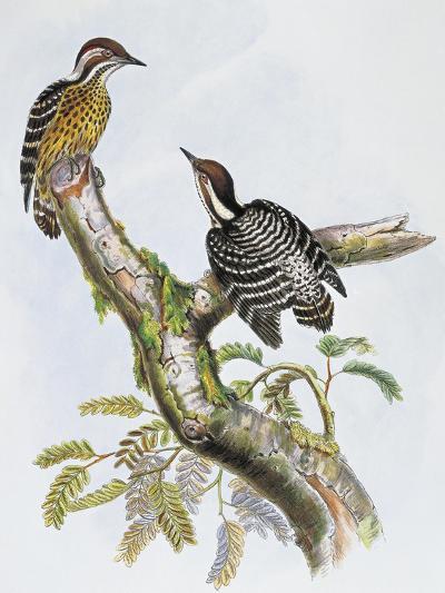 Philippine Pygmy Woodpecker (Dendrocopos Maculatus)--Giclee Print