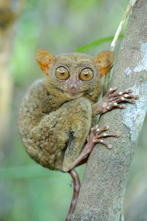 https://imgc.artprintimages.com/img/print/philippine-tarsier-carlito-syrichta-portrait-captive-philippine-tarsier-and-wildlife-sanctuary_u-l-q13a5zs0.jpg?p=0