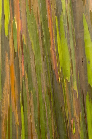 Philippines Multicolored Bark Of The Rainbow Eucalyptus Tree