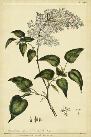 Lilac, Pl. CLXIII