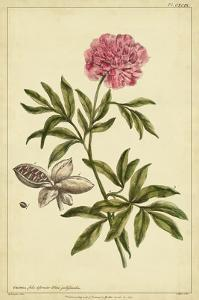 Peony, Pl. CXCIX by Phillip Miller