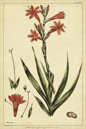 Watsonia, Pl. CCLXXVI