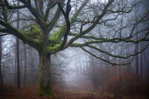 Old oak tree by Phillipe Manguin
