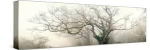 panoramic octopus ghost oak by Phillipe Manguin