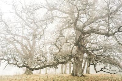 The ghost oaks