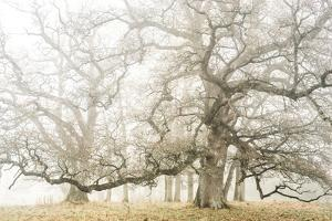 The ghost oaks by Phillipe Manguin