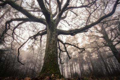 the old oak by Phillipe Manguin
