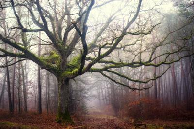 The old octopus oak tree