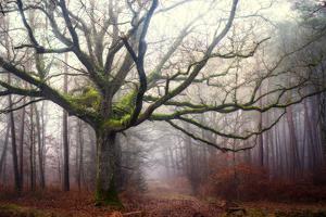The old octopus oak tree by Phillipe Manguin