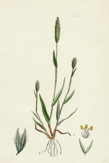 Phleum Arenarium Sand Timothy-Grass--Giclee Print