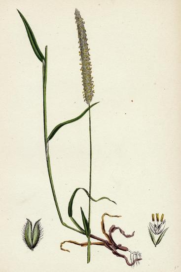 Phleum Böhmeri Purple-Stalked Timothy-Grass--Giclee Print