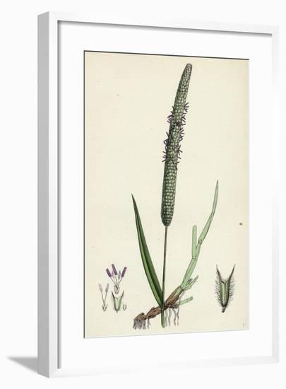 Phleum Pratense Var. Genuinum Common Timothy-Grass Var. A--Framed Giclee Print