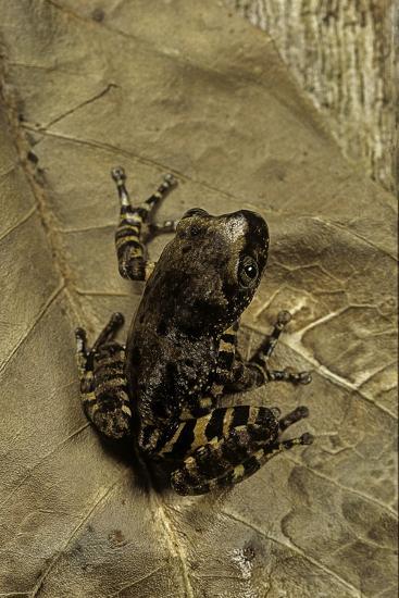 Phlyctimantis Boulengeri-Paul Starosta-Photographic Print