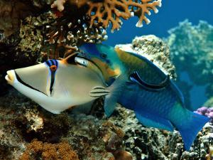 Trigger Fish and Parrot Fish in Water by photo acqua e luce di mauro mainardi