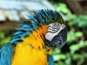 Ruffled Macaw Parrot by Photo by Cathy Scola