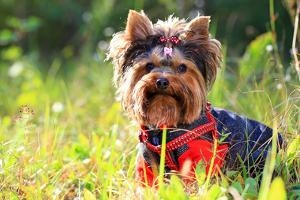 Yorkshire Terrier Outdoors by photobac