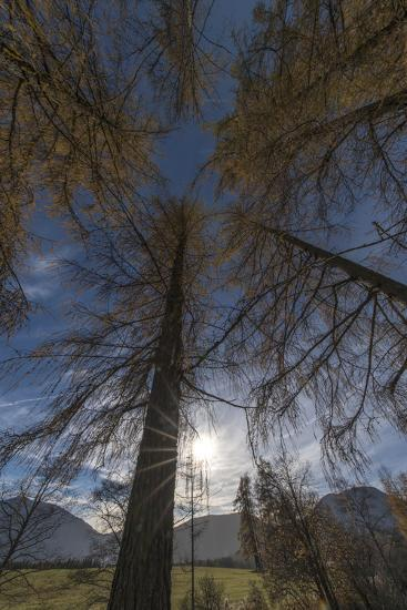 Photographed Larches in the Sunlight, Toward the Sky-Niki Haselwanter-Photographic Print