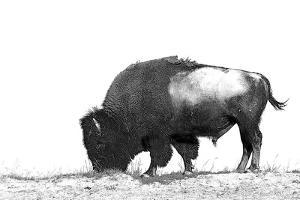 Line Art/Pen and Ink Illustration Style Image of American Bison (Buffalo) Skylined on a Ridge Again by photographhunter