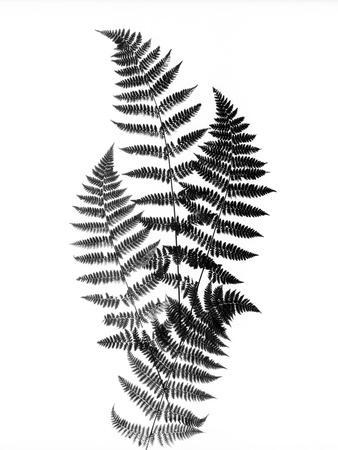 https://imgc.artprintimages.com/img/print/photographic-study-of-fern-leaves_u-l-pzljr90.jpg?p=0