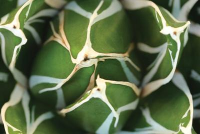 Agave 02 by PhotoINC Studio