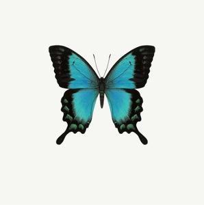 Blue Butterfly by PhotoINC Studio