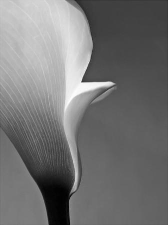 Calla No. 5 by PhotoINC Studio