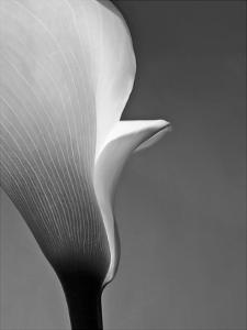 Calla No. 5 by PhotoINC Studio