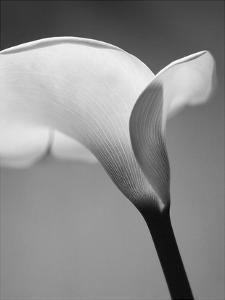 Calla No. 6 by PhotoINC Studio