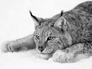 Lynx by PhotoINC Studio