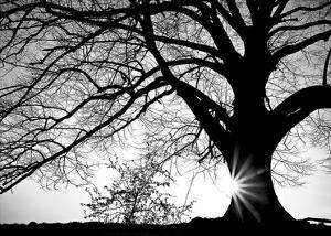 Oak Silhouette by PhotoINC Studio