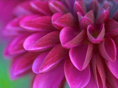 Pink Chrysanthemum by PhotoINC Studio