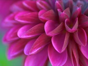 Pink Chrysanthemum by PhotoINC Studio