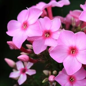 Pink Flowers by PhotoINC Studio