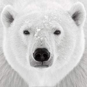 Polar Bear by PhotoINC Studio