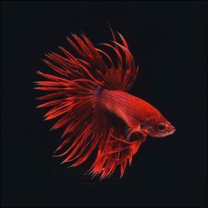Red Betta Fish by PhotoINC Studio