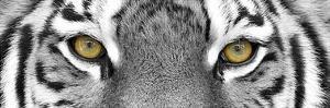 Tiger by PhotoINC Studio