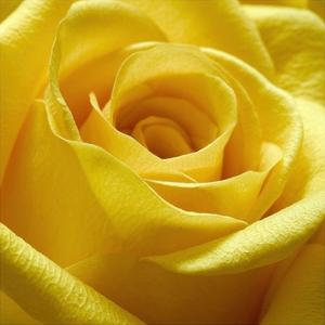 Yellow Rose by PhotoINC Studio