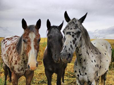 Three Appaloosa Horses by Photos by By Deb Alperin