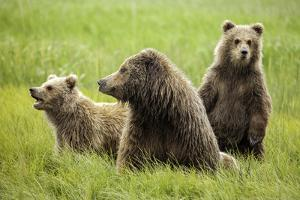 Grizzly Bears by Photos by Miller