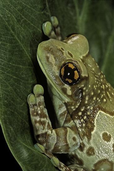 Phrynohyas Resinifictrix (Amazon Milk Frog)-Paul Starosta-Photographic Print