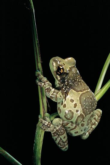 Phrynohyas Resinifictrix (Amazon Milk Frog)-Paul Starosta-Photographic Print