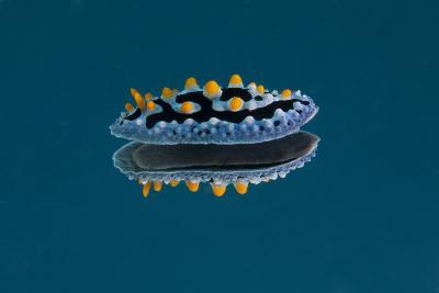 Phyllidia Coelestis Nudibranch on Blue Background-Stocktrek Images-Photographic Print
