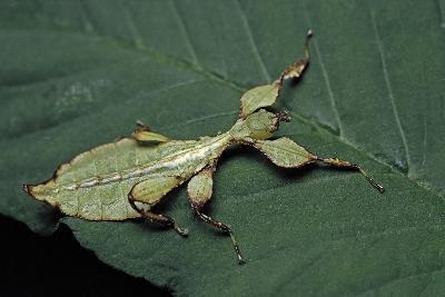 Phyllium Giganteum (Giant Malaysian Leaf Insect, Walking Leaf) - Larva-Paul Starosta-Photographic Print