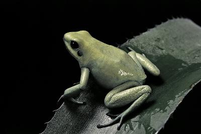 Phyllobates Terribilis F. Mint (Golden Poison Frog)-Paul Starosta-Photographic Print