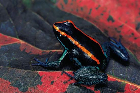 Phyllobates Vittatus (Golfodulcean Poison Frog)-Paul Starosta-Photographic Print