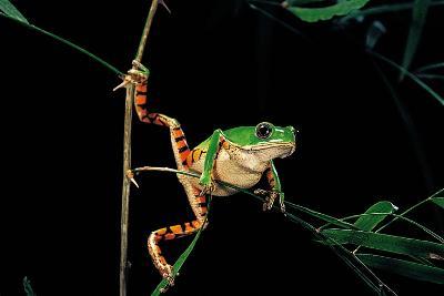 Phyllomedusa Hypochondrialis Azurea (Northern Orange-Legged Leaf Frog)-Paul Starosta-Photographic Print