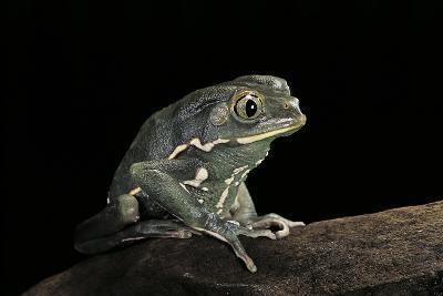 Phyllomedusa Sauvagii (Waxy Monkey Leaf Frog)-Paul Starosta-Photographic Print